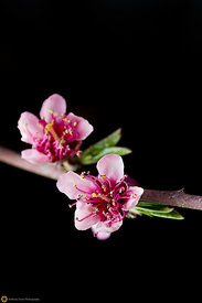 Peach Blossoms # 6