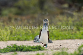 blue_footed_booby_north_seymour-31