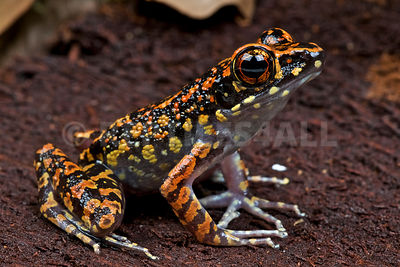 Spotted stream frog (Hylarana picturata) photos