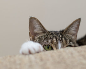 Close-up of Tabby Cat Peering Over Stair