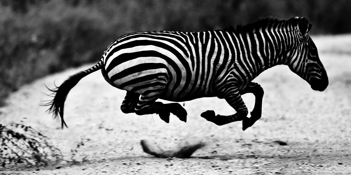 1122-Zebra_crossing_the_road_Tanzania_2007_Laurent_Baheux