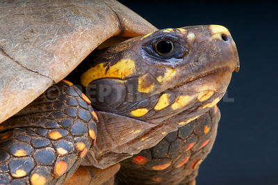 Yellow-footed tortoise (Chelonoides denticulate) photos