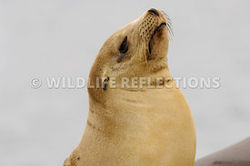 California Sea Lion Golden Pup Proud 1