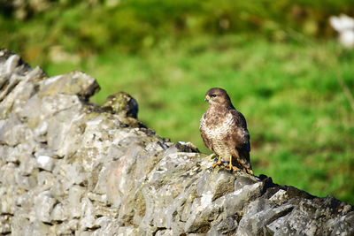 Young Buzzard at Parwich