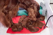 Three day old Irish Setter puppies with mother