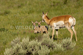 pronghorn_eyeing_twins