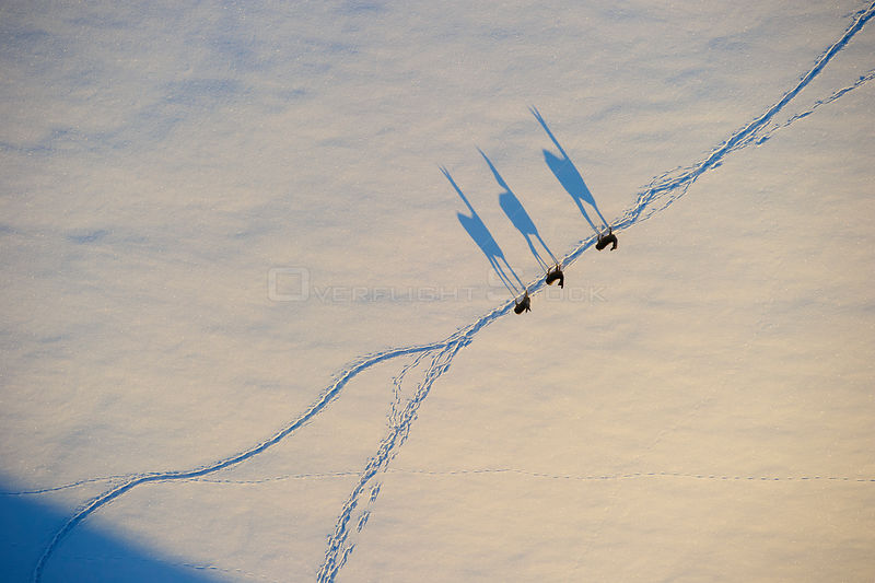 Aerial view of three Roe deer (Capreolus capreolus) walking in line along trail in snow, with long shadows  before sunset, Estonia, May.