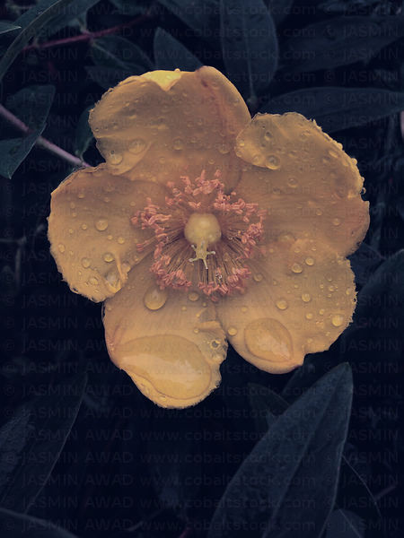 Yellow flower after thunderstorm