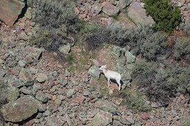Desert Bighorn Sheep Lamb in Wild Rivers Area of Rio Grande del Norte National Monument
