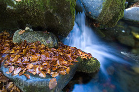 European beech (Fagus sylvatica) leaves beside a small waterfall.