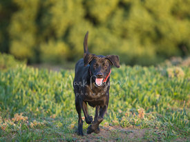 Happy Black Dog Running Toward Camera