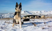 Border Collie sheepdog watching flock of sheep in snow, Cumbria, UK