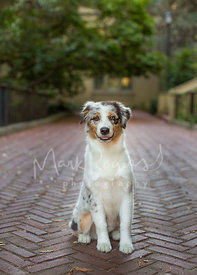Smiling Australian Shepherd Puppy Sitting on Brick Pathway