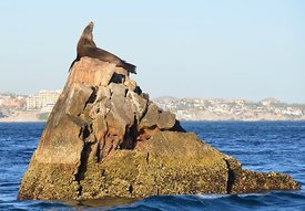 Sea Lion King of the Rock