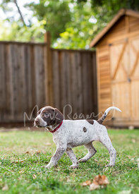 german shorthaired pointer puppy walking on grass