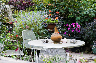Table and chairs in the front garden surrounded by dahlias, blue caryopteris and pots of succulents. Dyffryn Fernant, Fishguard, Pembrokeshire, Wales, UK