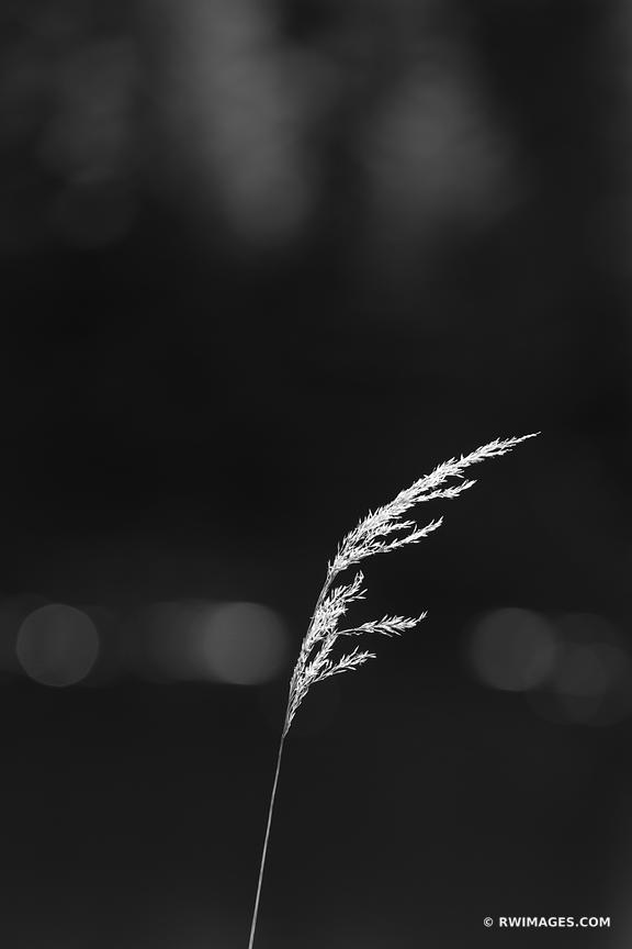 PRAIRIE GRASS BLACK AND WHITE