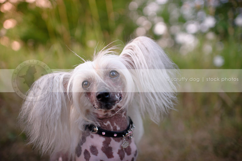 chinese crested freckled dog wearing jeweled collar staring at camera