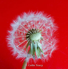 Dandelion Seedhead on Red