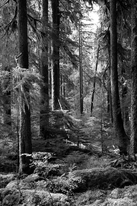 SOL DUC FALLS TRAIL OLYMPIC NATIONAL PARK WASHINGTON PACIFIC NORTHWEST FOREST BLACK AND WHITE VERTICAL