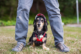 Dachshund dog with visor sitting between persons legs