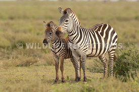 Zebra Foal to Side 2