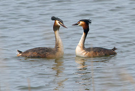 April - Great Crested Grebes