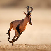 Red hartebeest running