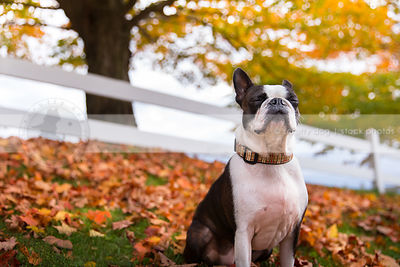 cute little dog with eyes closed meditating in autumn leaves