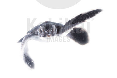 Chelonia mydas - Green sea turtle