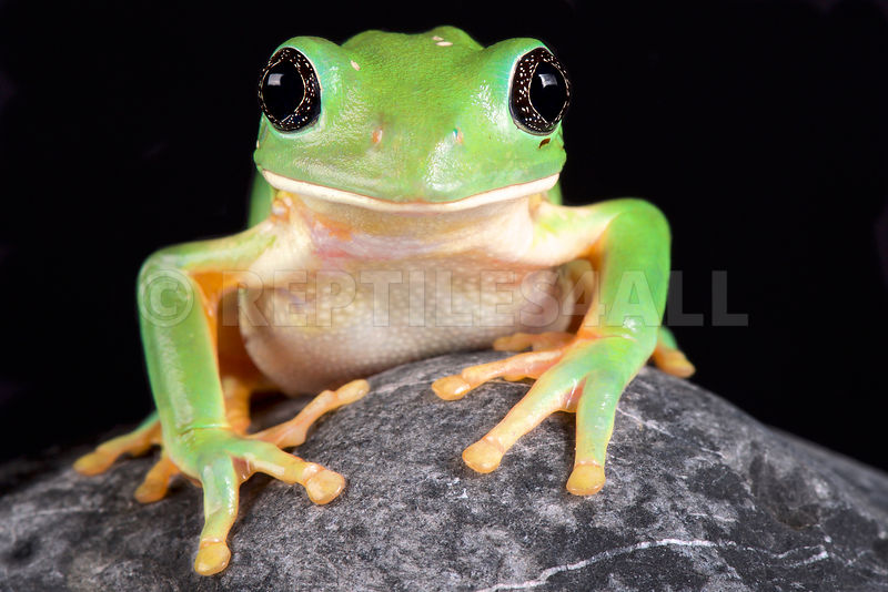 Mexican leaf frog, (Pachymedusa dacnicolor)