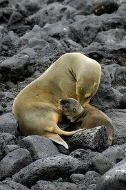 Nursing Sea Lion Pup