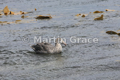 Northern Giant Petrel (Macronectes halli), Sea Lion Island, Falkland Islands