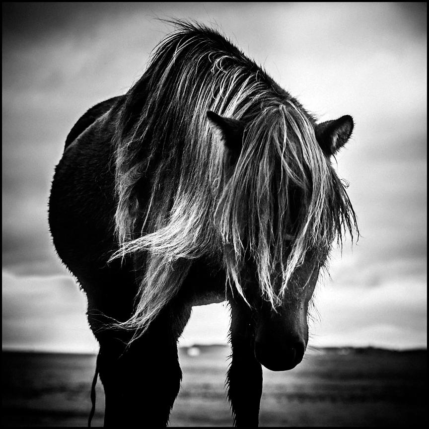 The curious, Wild Horse of Iceland 2015 © Laurent Baheux