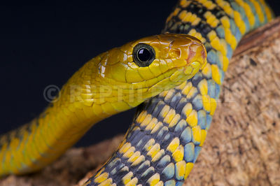 Black tree snake / Thrasops jacksonii photos