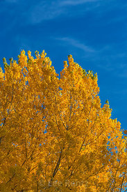 Colorful Cottonwoods along Rio Grande in Rio Grande del Norte National Monument