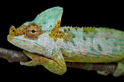 Carpenter's chameleon (Kinyongia carpenteri) photos