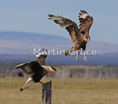 An adult Southern Crested Caracara (Southern Caracara, Carancho) (Caracara plancus) displaces a juvenile from a fence post, Patagonia, Chile