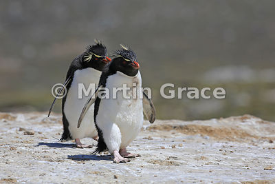 Southern Rockhopper Penguins (Eudyptes chrysocome chrysocome) on the penguin highway from the colony to the sea, Cape Coventry, Pebble Island