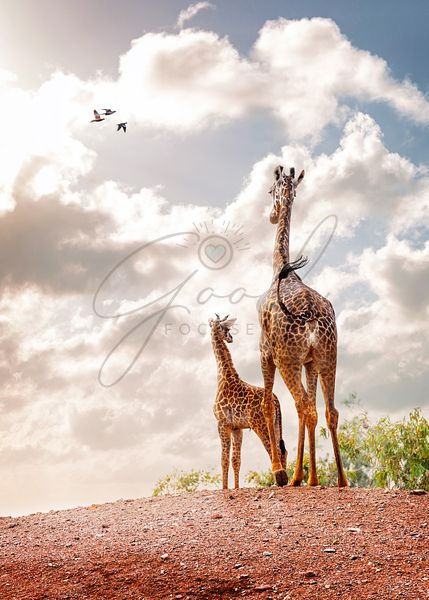 Mother and Baby Giraffe Looking Out Into Sunrise