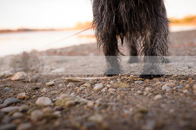 closeup of scruffy terrier dog paws on stoney beach