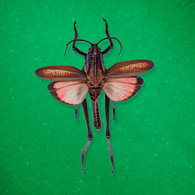 2Bug_EasternLubber_emerald_9700CMYK