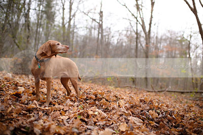 senior red gundog standing in autumn leaves with forest