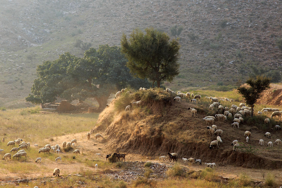 Sheep herders graze their animals in the desert near Kharekhari village, Rajasthan, India, In the distance is a massive ancient fig tree.