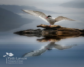 Arctic Tern Reflection