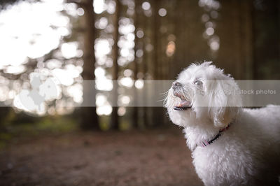 sweet little white fluffy dog looking skyward in forest