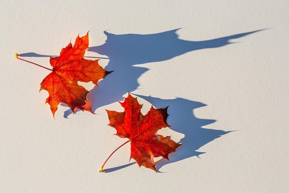 MAPLE SHADOW DANCE