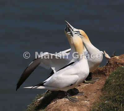 Four adult Northern Gannets (Morus bassanus) displaying together within the nesting colony, Bempton Cliffs (RSPB), East Riding of Yorkshire, England