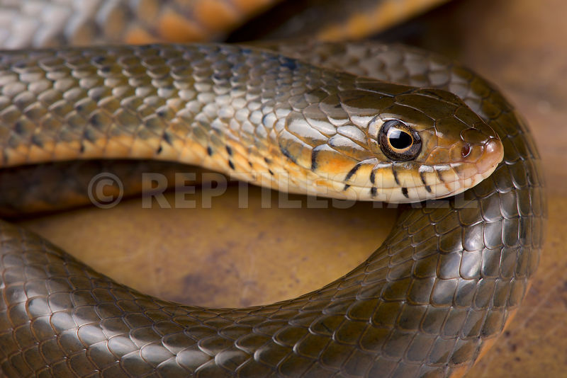 Smith's African Water Snake, Grayia smithii.