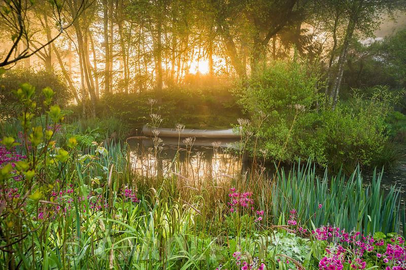 Dawn sunlight breaks through mist and trees above the pond with moored canoe, surrounded by magenta Primula pulverulenta, ferns, irises and sedges. Windy Hall, Windermere, Cumbria, UK